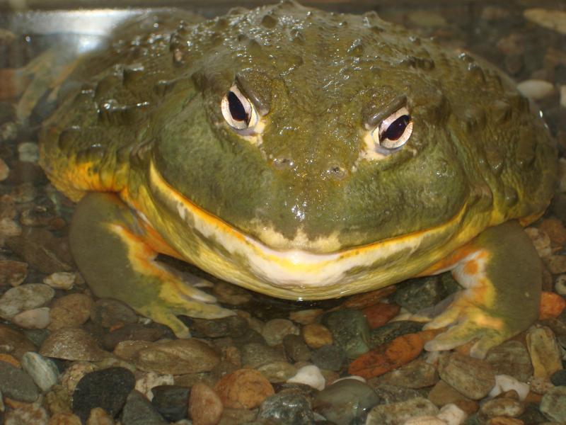 Pyxicephalus adspersus (африканская лягушка-